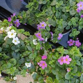 Grossblütige Schneeflockenblume | Sutera grandiflora