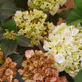 Hortensien | Hydrangea macrophylla