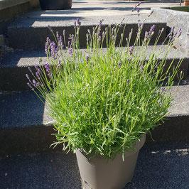 Lavendel | Lavendula angustifolia