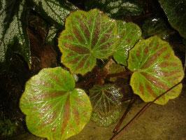 Saxifraga stolonifera rotgestreifte Blätter