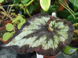 """Begonia """"China Curl"""""""