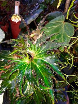 Begonia #4