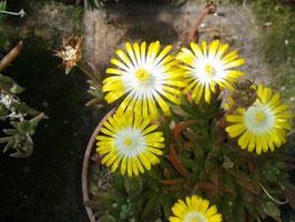 Delosperma Hybride weiß-gelb
