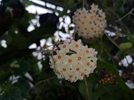 Hoya mathidae