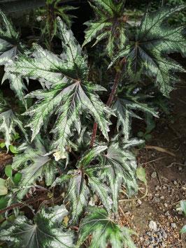 Begonia difformis (?)