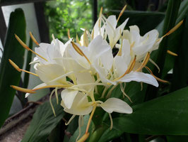 "Hedychium ""Thai Monarch"""