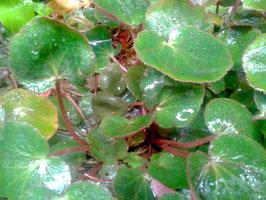 Saxifraga stolonifera grünlaubig