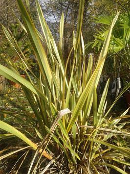 Phormium tenax Neuseelandflachs orange