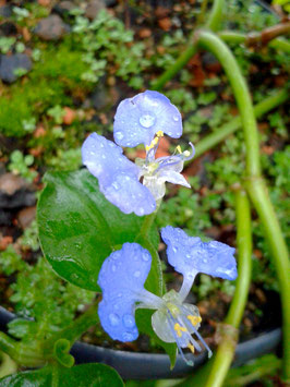 Commelina spec.