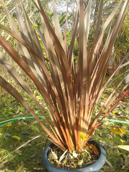 Phormium tenax Neuseelandflachs rot