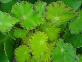 Begonia bowerae grün