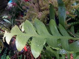 Marniera (Selenicereus/Epiphyllum) chrysocardium