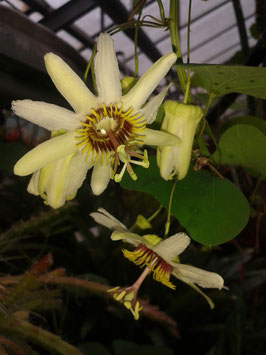 Passiflora yucatana