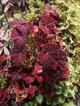"Begonia ""Autumn Amber"""