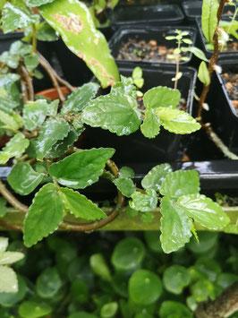 Pellionia begonifolia