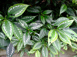 Sympagis maculata