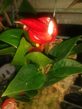 Anthurium Mini-Hygriden
