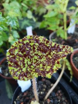 "Begonia ""Marmaduke"""