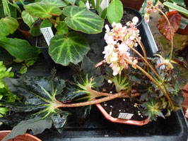 "Begonia ""Black Fang"""