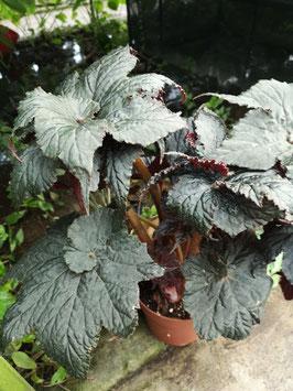 "Begonia ""Black Taffeta"""