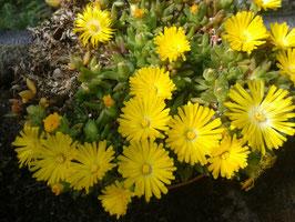 Delosperma Hybride gelb