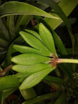 Peperomia kimnachii