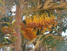 Grevillea robusta -  Australische Silbereiche