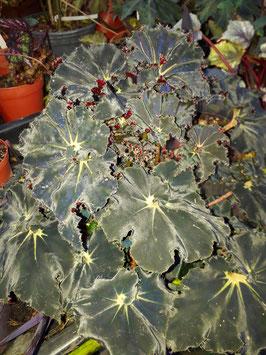 Begonia #2