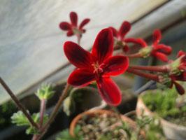 """Pelargonium ardens """"Selma"""""""
