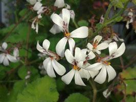 Pelargonium x fragrans