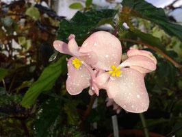 Begonia macduffiana