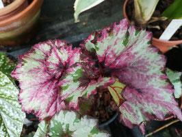 """Begonia """"Raspberry Swirl"""
