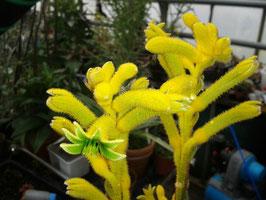 Anigozanthos gelb Känguru-Pfötchen