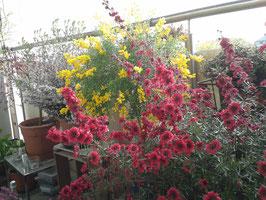 Leptospermum scoparium - Manuka oder Südseemyrte