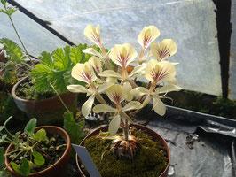 Pelargonium oblongatum