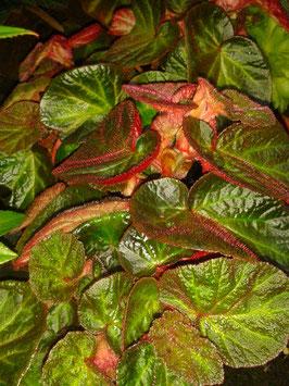 Begonia serotina