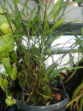 Epiphytischer Farn
