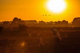 Tableau photo Alu-Dibond - Troupeau de mouton survolé par les oiseaux , Rostu