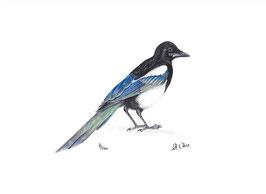 Vogel Elster