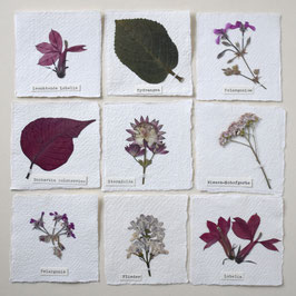 Herbarium mini-Bild                 rosa-rot