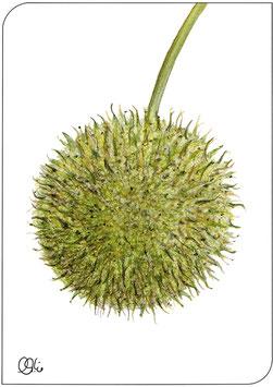 Platanen-frucht Postkarte