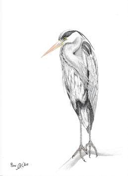 Vogel Graureiher
