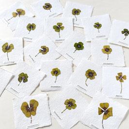 Glücksklee Herbarium mini-Bilder