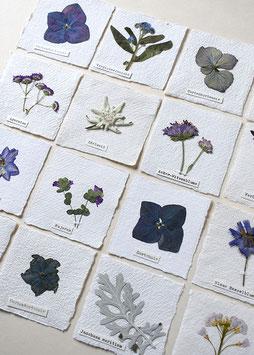 Herbarium-Bild Augentrost, Hortensie