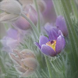 Frühlingsanemonen