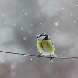 Blaumeise im Schneegestöber