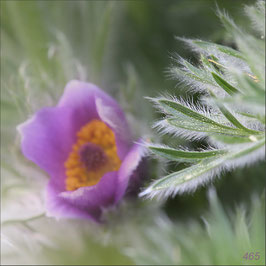 Frühlingsanemonen 2