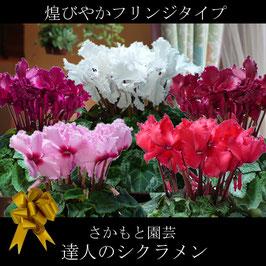 さかもと園芸のシクラメン 【フリンジ】