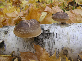 Shiitake Mushroom Plug Spawn