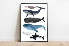 Poster - Wale der Weltmeere
